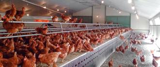 Resultados de producción en gallinas ecológicas